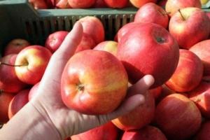 czech-apples