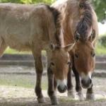 przewalskis-horses-praha