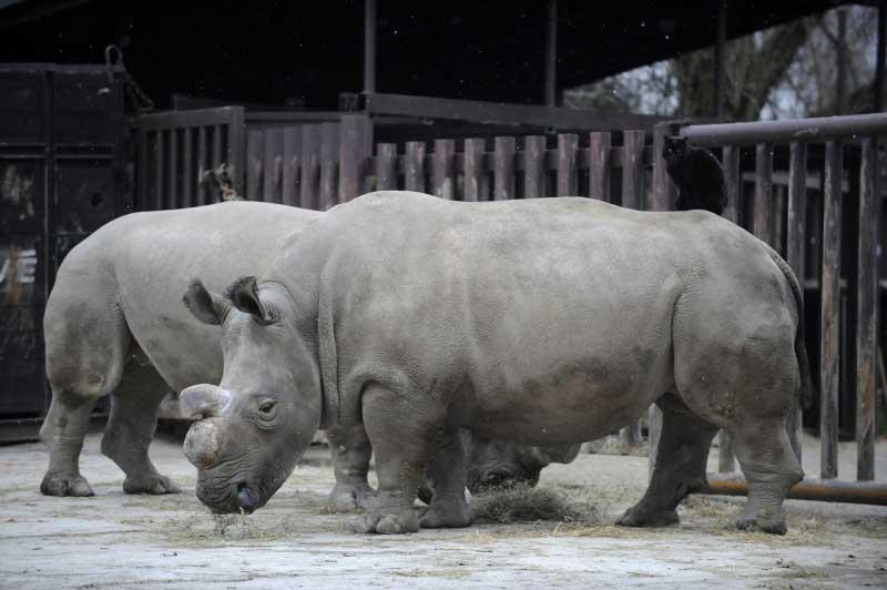 rhino-nabire