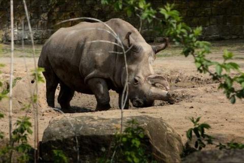 white-rhino-nabire