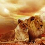 lion safari africa landscape