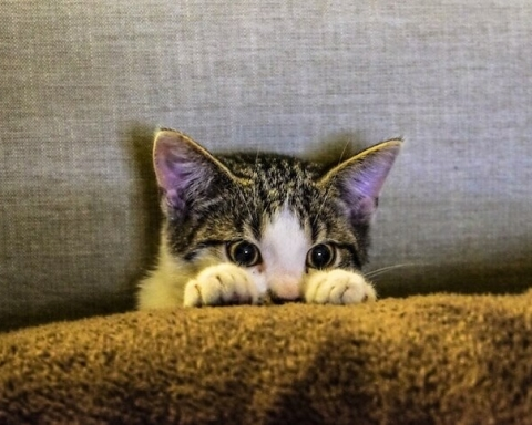 cat pet