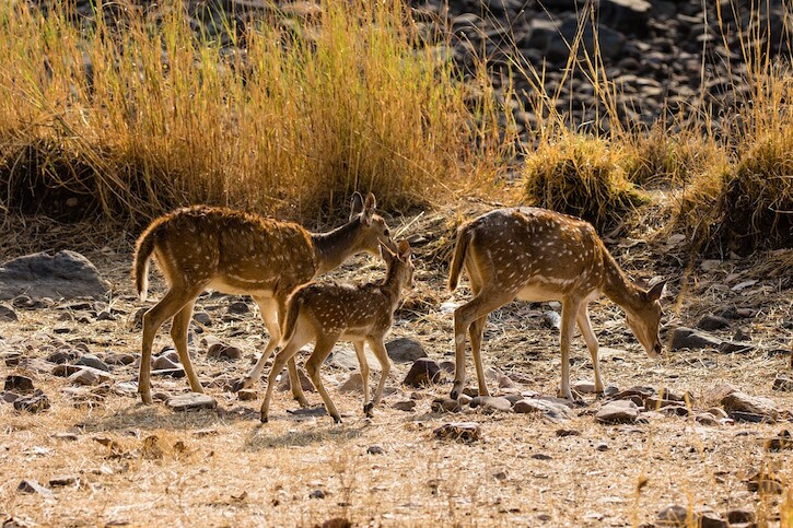 Sawai Madhopur, Ranthambhore National Park, India