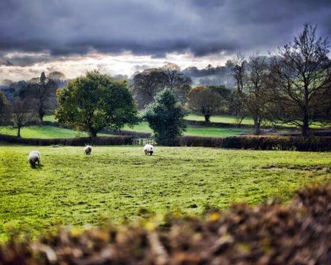 sheeps pastoring